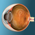 Eye anatomy and how vision works
