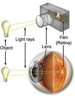 Eye anatomy - how vision works